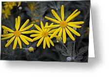 Yellow Daisy #2 Greeting Card
