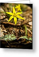 Yellow Dogtooth Trout Lilly Greeting Card