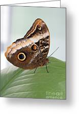 Yellow-edged Giant Owl Butterfly #3 Greeting Card