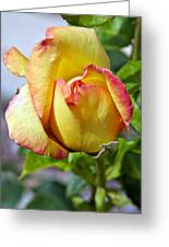 Yellow Edged In Pink Rose Greeting Card