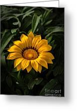 Yellow Gazania Greeting Card