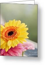 Yellow Gerber Daisy Greeting Card