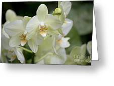 Yellow-green Phalaenopsis 8837 Greeting Card