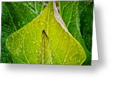 Yellow Green Skunk Cabbage Square Greeting Card