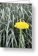 Yellow Immortelle Flower Greeting Card