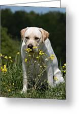 Yellow Labrador Retriever Dog Smelling Yellow Flowers  Greeting Card