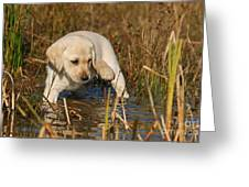 Yellow Labrador Retriever Puppy Standing In Water Greeting Card