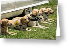 Yellow Labs In Training Greeting Card
