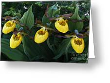 Yellow Lady Slippers On Forest Floor Greeting Card