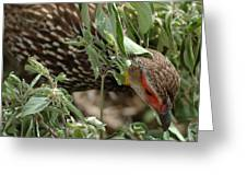 Yellow-necked Spurfowl Greeting Card