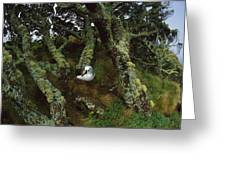 Yellow-nosed Albatrosses In Ferns Greeting Card