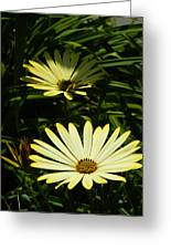 Yellow Osteospermums Greeting Card