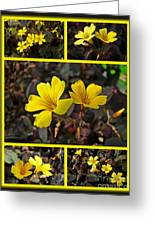 Yellow Oxalis - Oxalis Spiralis Vulcanicola Greeting Card