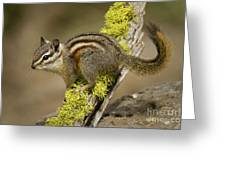 Yellow Pine Chipmunk Greeting Card