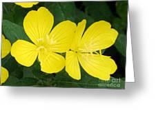 Yellow Primrose Greeting Card