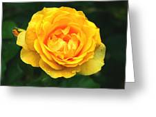 Yellow Rose Greeting Card