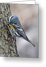 Yellow-rump Warbler Greeting Card