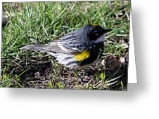 Yellow-rumped Warbler   Greeting Card