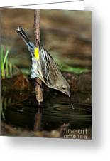 Yellow-rumped Warbler Drinking Greeting Card