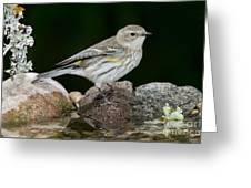 Yellow-rumped Warbler Hen Greeting Card