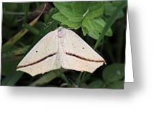 Yellow Slant-line Moth Greeting Card