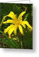 Yellow Spider Lily 21 Greeting Card
