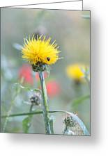 Yellow Star-thistle Greeting Card
