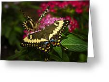 Yellow Swallowtail Butterflies  Greeting Card