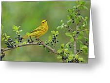 Yellow Warbler Male Perched On Elbow Greeting Card