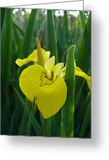 Yellow Water Iris Greeting Card