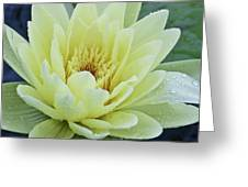 Yellow Water Lily Nymphaea Greeting Card