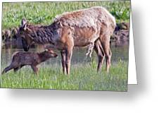Yellowstone Elk Cow And Calf Greeting Card