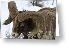 Yellowstone Ram Greeting Card by David Yack