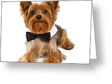 Yorkshire Terrier Dog With Black Tie Greeting Card