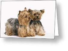 Yorkshire Terrier Dogs Greeting Card