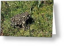Yosemite Toad Bufo Canorus Greeting Card