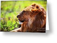 Young Adult Male Lion On Savanna. Safari In Serengeti Greeting Card