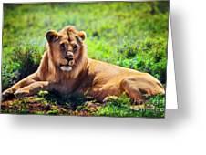 Young Adult Male Lion On Savanna. Safari In Serengeti. Tanzania Greeting Card