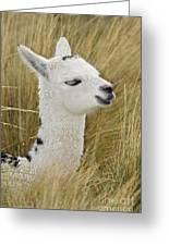 Young Alpaca Greeting Card