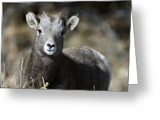 Young Bighorn Sheep Greeting Card
