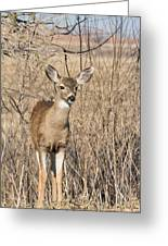 Young Black-tailed Deer Greeting Card