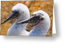 Young Blue Footed Booby Greeting Card