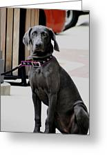 Young Blue Weimaraner Greeting Card