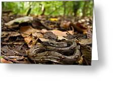 Young Boa Constrictor Greeting Card