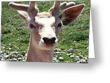 Young Buck Greeting Card