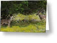 Young Bucks In The Texas Hill Country Greeting Card