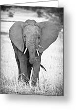 Young Bull Elephant Greeting Card