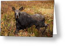 Young Bull Moose Being Aggressive Greeting Card
