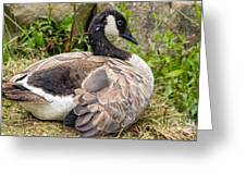 Young Canada Goose Greeting Card