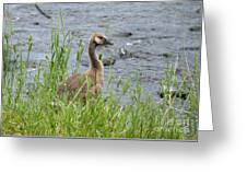 Young Canadian Goose Greeting Card